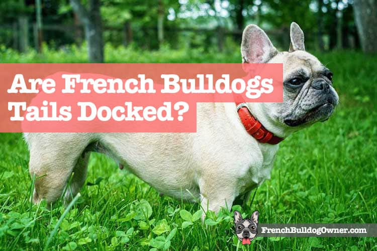 do french bulldogs have tails
