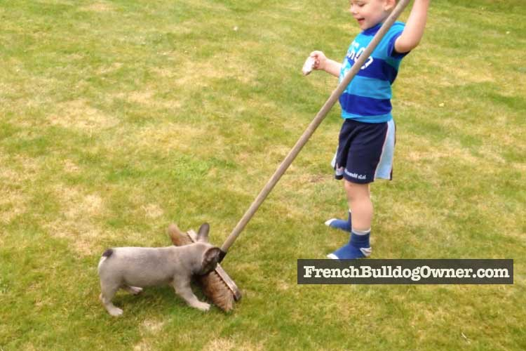 how tall is a french bulldog