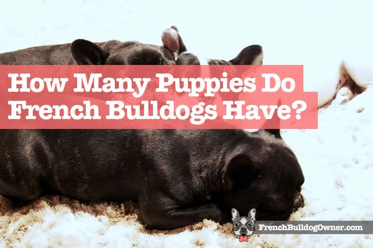 how many puppies can a french bulldog have
