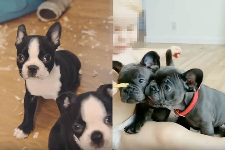 boston terrier vs french bulldog puppies