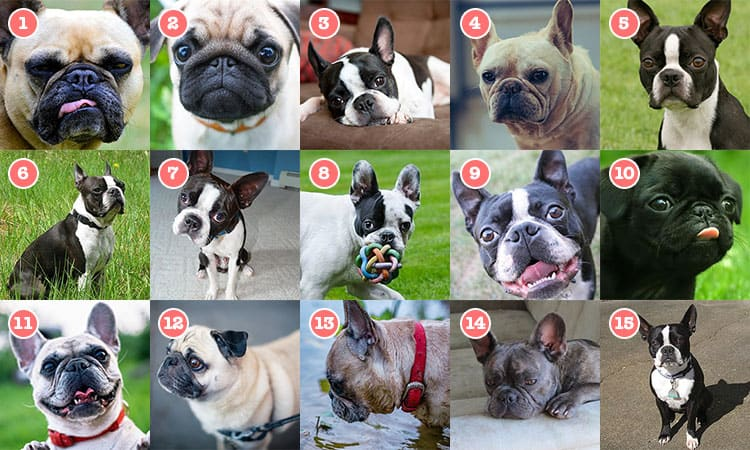pug vs french bulldog vs boston terrier