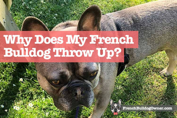 Why Does My French Bulldog Throw Up