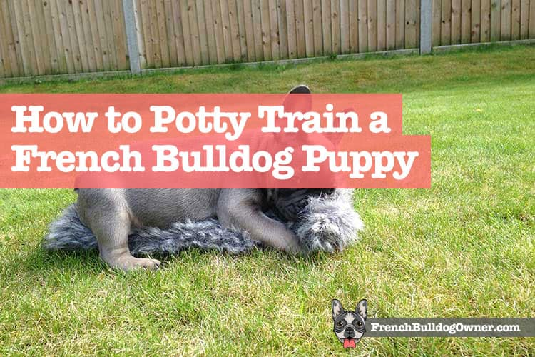 how to potty train a french bulldog puppy