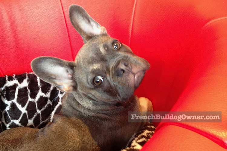 French bulldog health concerns with the ears