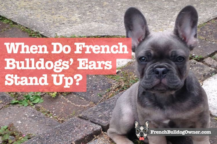 When Do French Bulldogs' Ears Stand Up