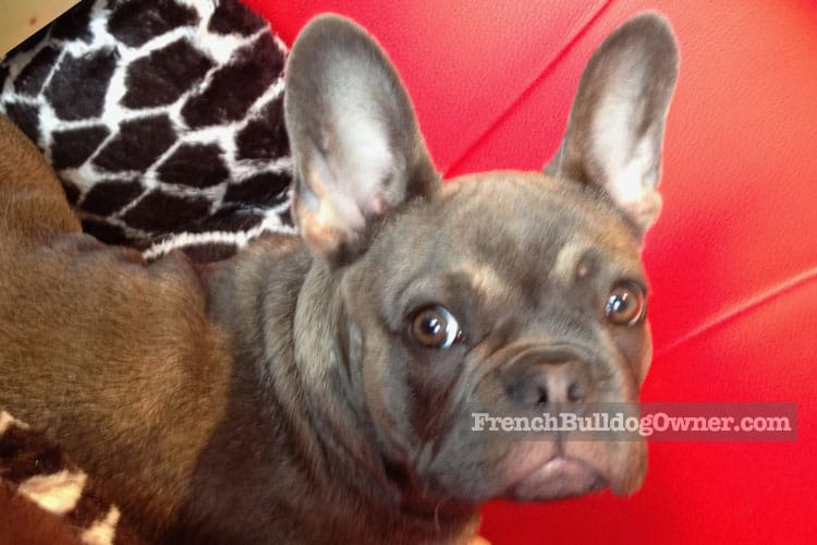 taping french bulldog ears