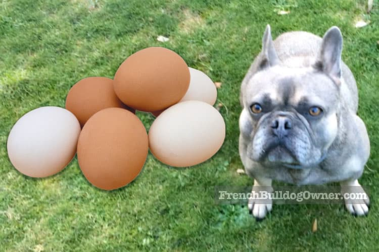 Can a French bulldog eat cooked eggs