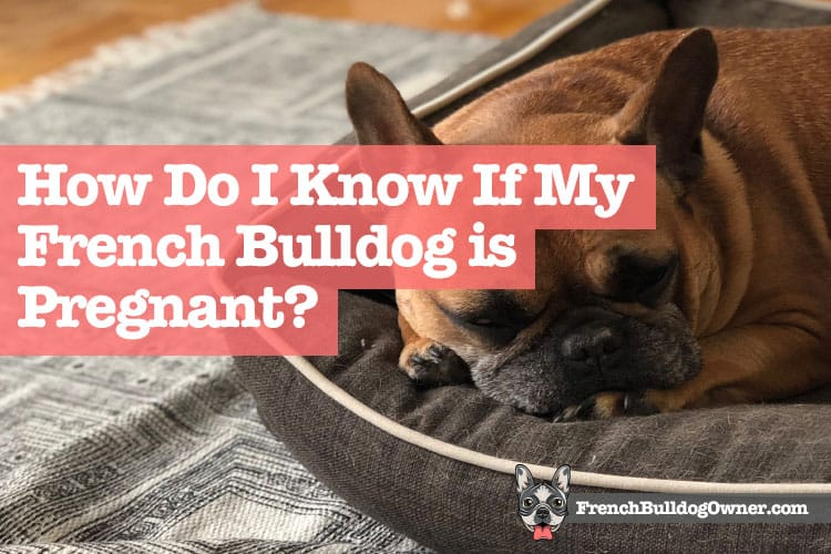 How Do I Know If My French Bulldog is Pregnant