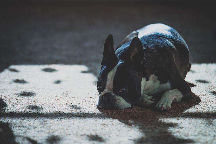 frenchie resting