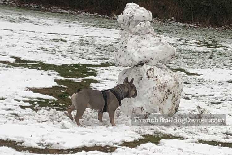French Bulldog in Swow