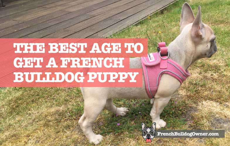 What is the best age to get a french bulldog puppy
