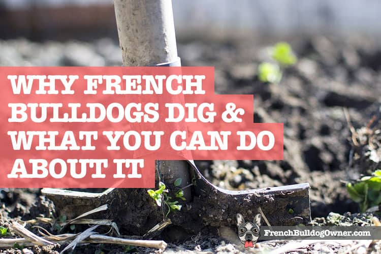 Why French Bulldogs Dig