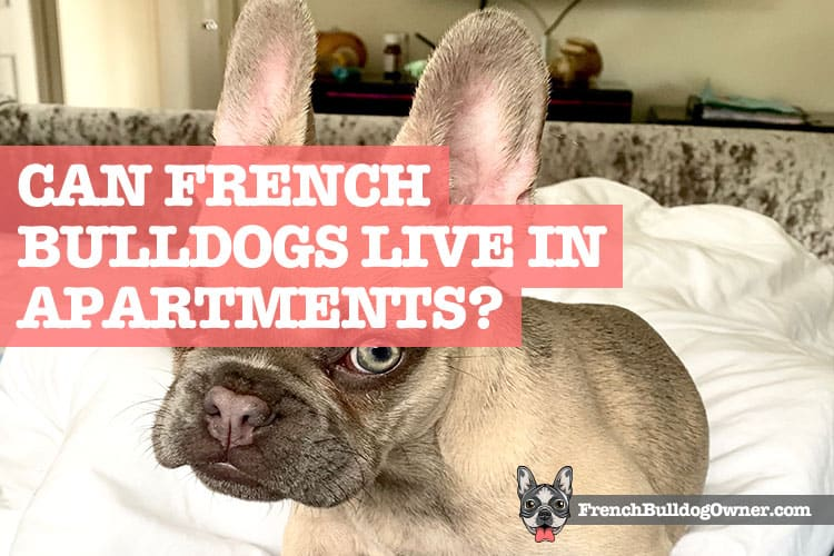 Can French Bulldogs Live in Apartments