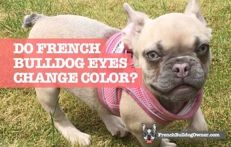 Do French Bulldogs Eyes Change Color