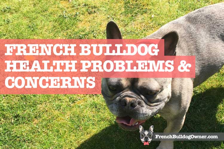 What Health Issues Do French Bulldogs Have 31 Health Problems
