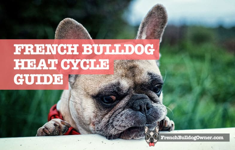 how long does a French bulldog stay in heat