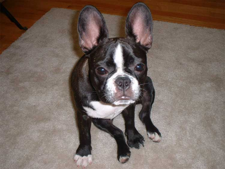 why do french bulldogs sit funny