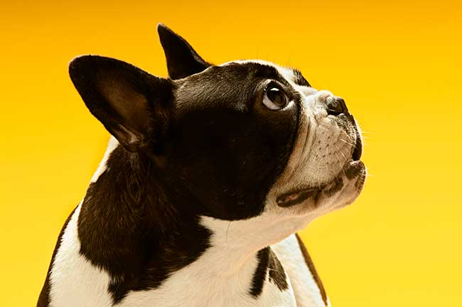 are french bulldogs bad for allergies