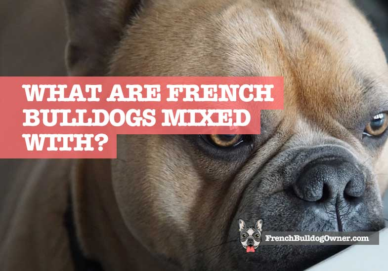 What breed are French bulldogs mixed with