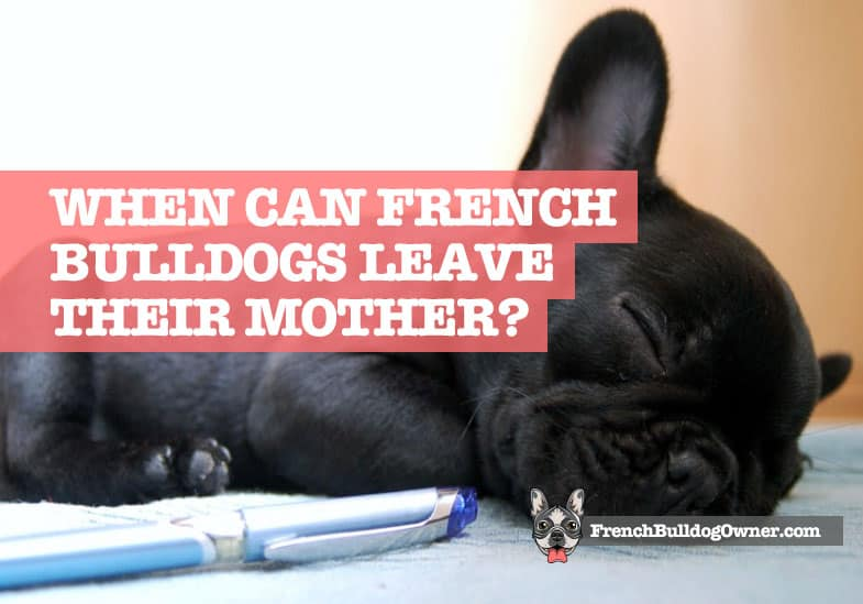 When Can French Bulldogs be Separated from their Mother
