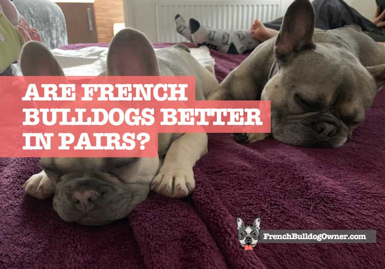 are French bulldogs better in pairs