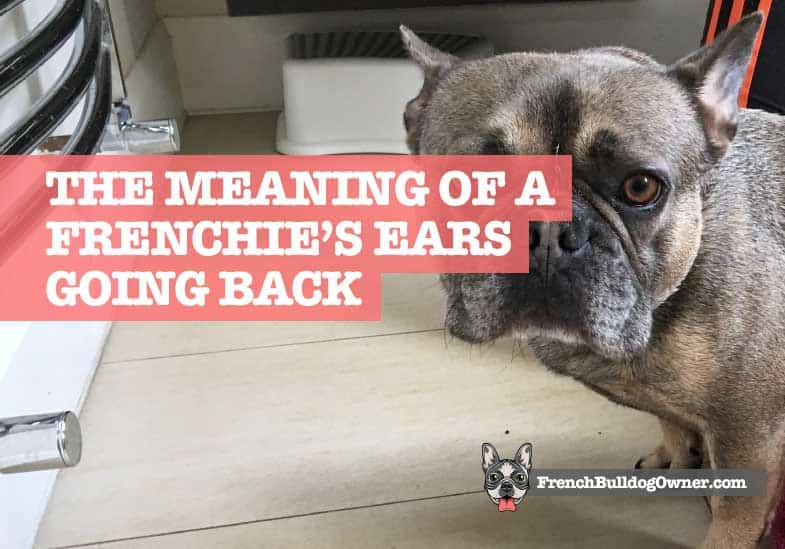 French Bulldog Ears Back Meaning