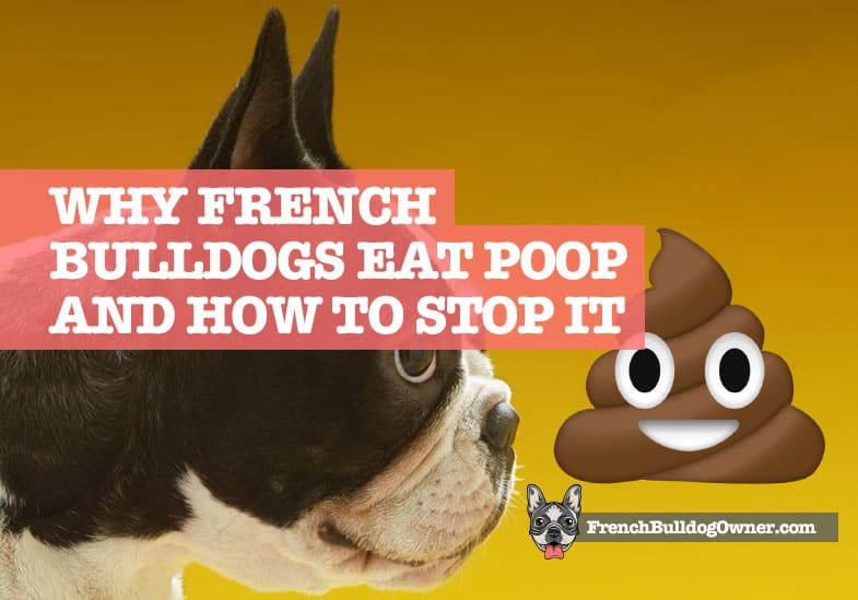 French Bulldog Eating Poop