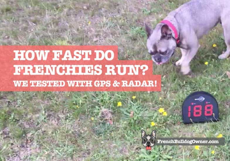 how fast can a french bulldog run