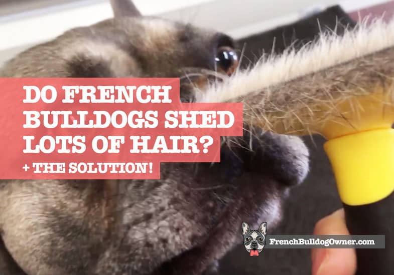 do french bulldogs shed a lot of hair