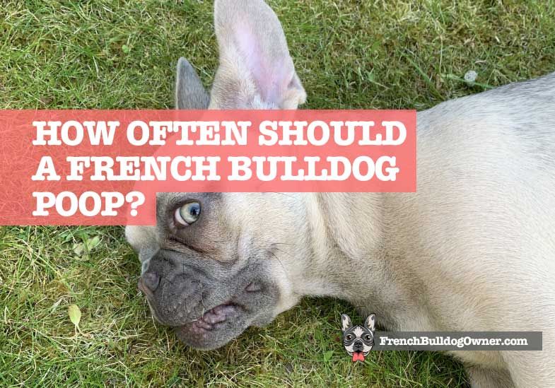 How Often Should a French Bulldog Poop