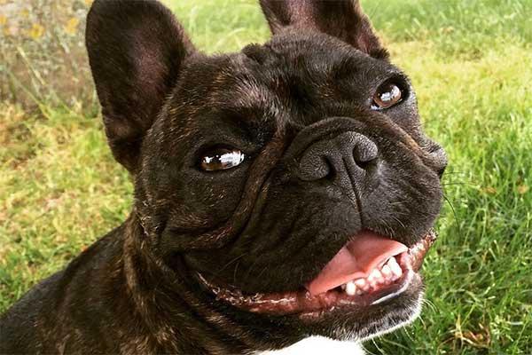 Resultado de imagen para Frenchie smiling
