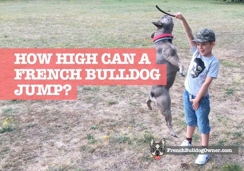 How high can a french bulldog jump