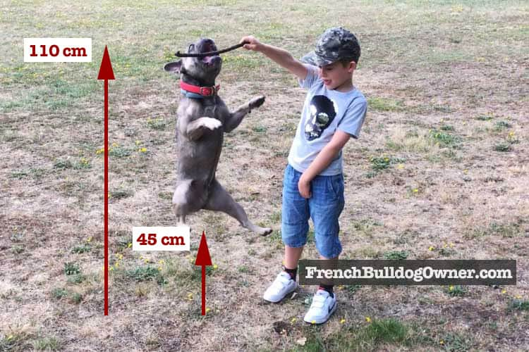French Bulldog Jumping Height