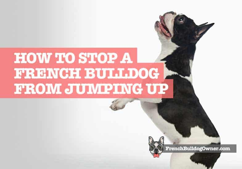 How to Stop a French Bulldog from Jumping Up