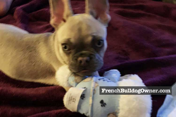 french bulldog chewing problems