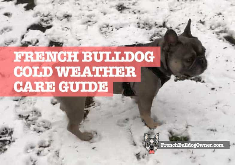 french bulldog cold weather