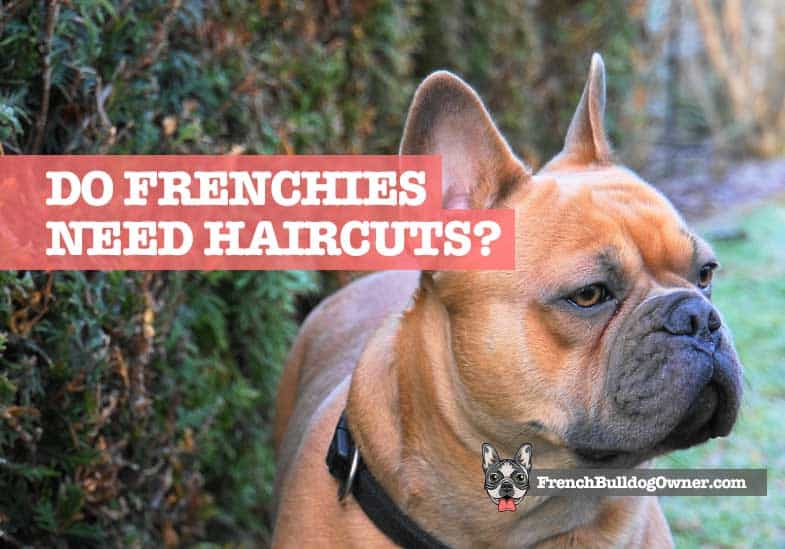 do frenchies need haircuts