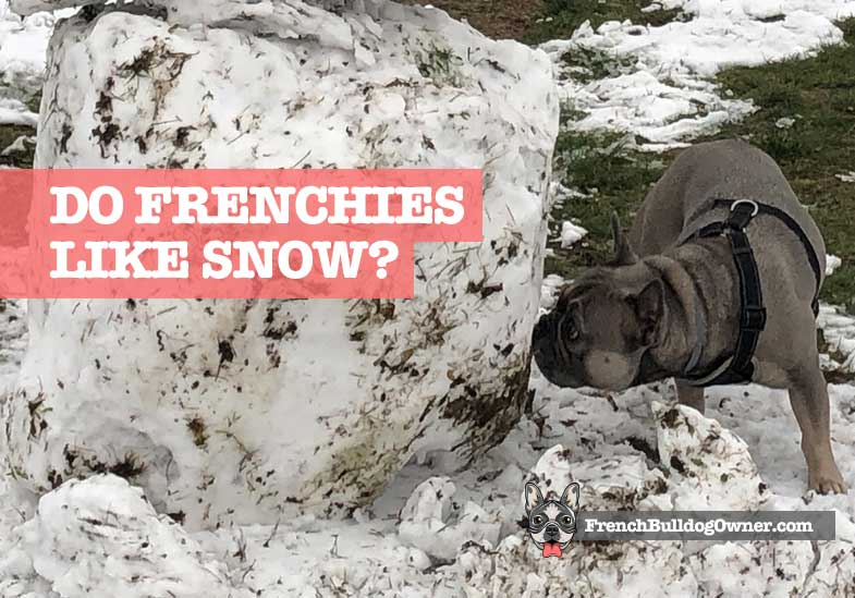 do french bulldogs like snow