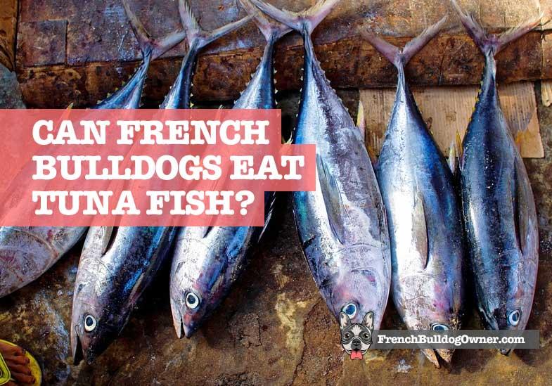 Can French Bulldogs Eat Tuna Fish