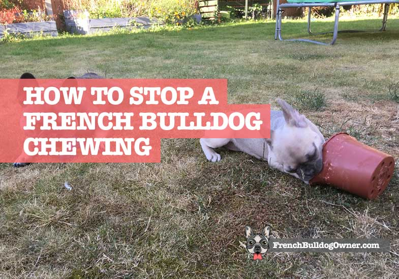how to stop a french bulldog chewing furniture