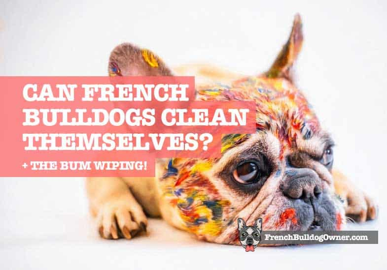 can french bulldogs clean themselves