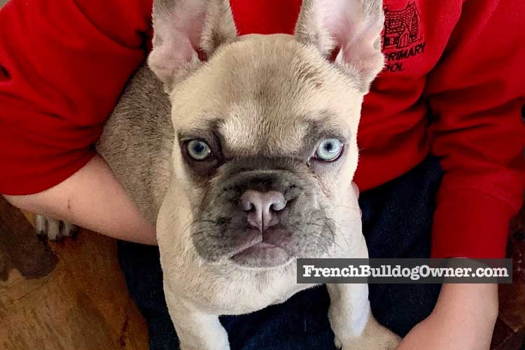 french bulldog sad face
