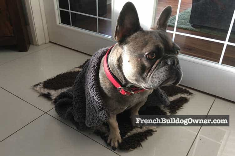 do French Bulldogs get cold