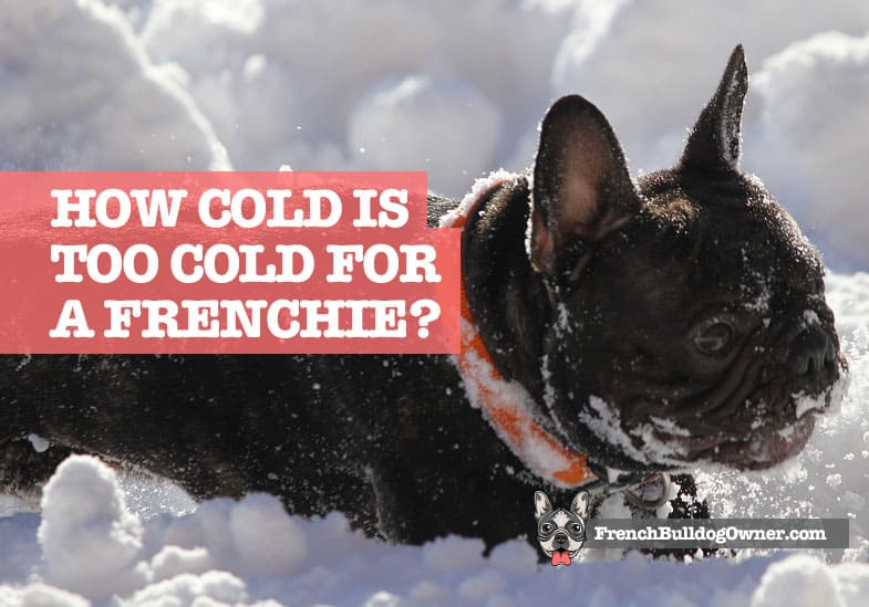 how cold is too cold for a french bulldog