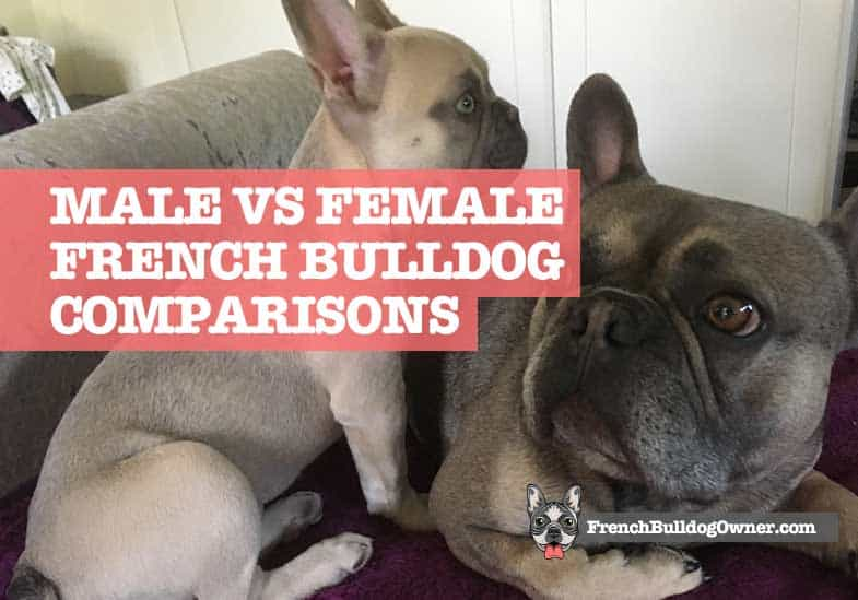 differences in male and female french bulldogs