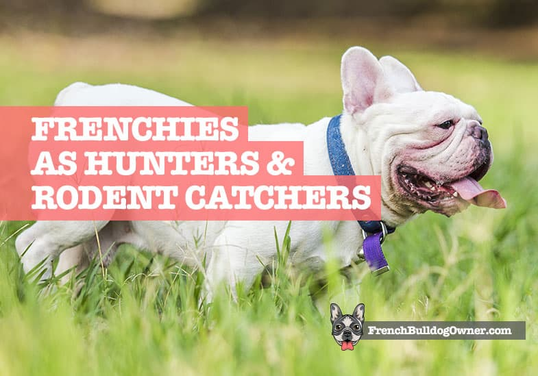 French Bulldogs hunting dogs rat catchers