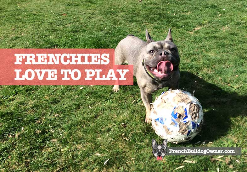 french bulldogs play