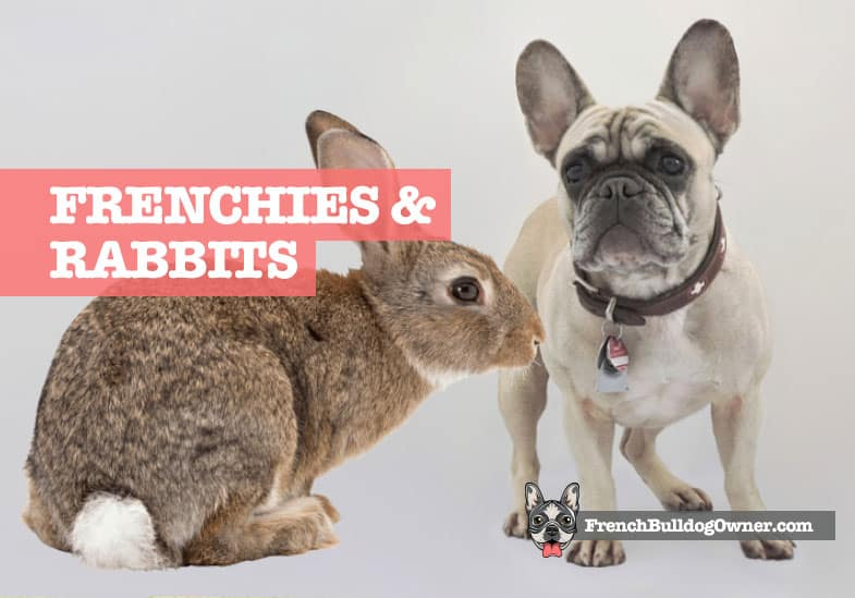 are french bulldogs good with rabbits