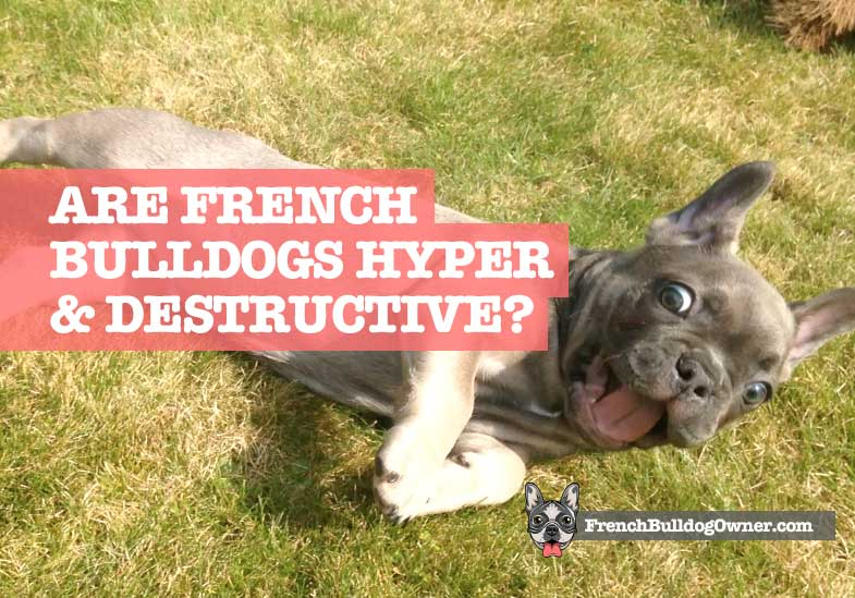 are french bulldogs hyper