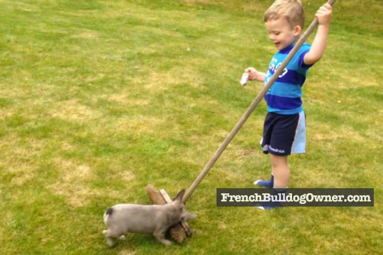 frenchie puppy playing
